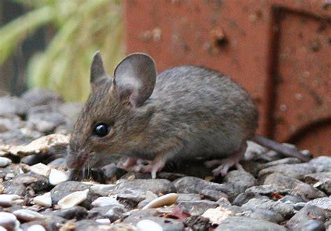 Wie Schnell Ist Eine Maus by Hausmaus