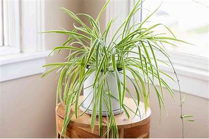 Spider Plant Plants Chlorophytum Tanaman Hanging Definition