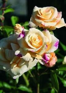 Wann Schneidet Man Rosen : wann ist die beste pflanzzeit f r rosen ~ Eleganceandgraceweddings.com Haus und Dekorationen