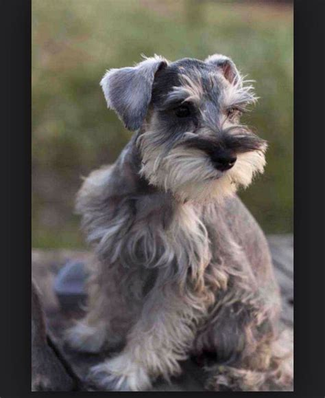 Do Schnauzers Shed by Picture Found In I Miniature Schnauzer