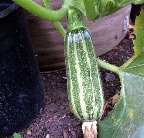 How to grow Zucchini in containers   Growing Zucchini plant