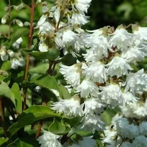 Zimmerpflanze Weiße Blüten : deutzie deutzia magnifica zierstrauch wei e bl te 20 40 cm im 2 liter topf geh lze ~ Markanthonyermac.com Haus und Dekorationen