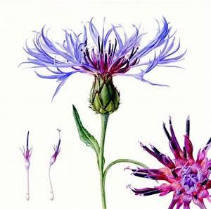 les 61 meilleures images du tableau myosotis et bleuet sur With amazing nuance de couleur peinture 12 tableau de fleur bleues