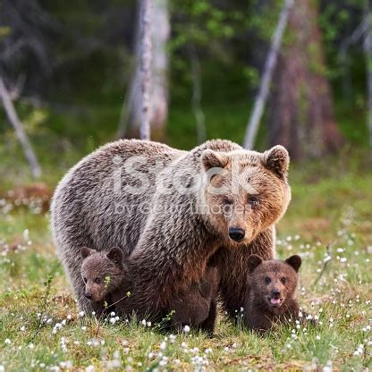 mother brown bear   cubs stock photo  pictures