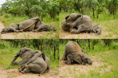 how can an elephant get did these elephants get just a little drunk on marula fruit animal behaviour earth touch news