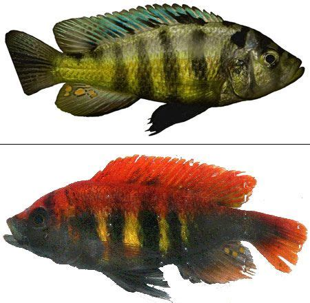 lake victoria cichlid fresh water fish african