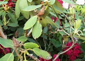 Rhododendron Braune Blätter : rhododendron park wachwitz 71 krankheiten braune knospen ~ Lizthompson.info Haus und Dekorationen