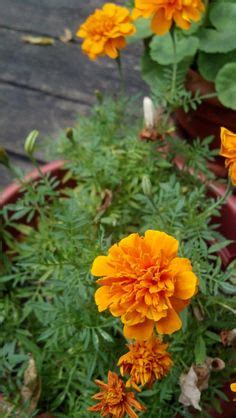 marigold insect repellent 1000 images about no mosquito garden on pinterest mosquito repelling plants mosquitoes and