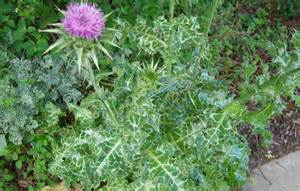 flowers online buy milk thistle tea benefits and side effects herbal