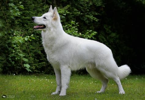 gallery swiss white shepherd male stud dog hd  ed