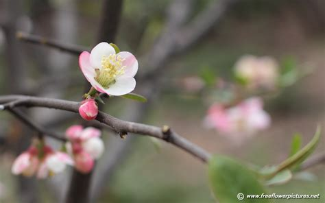 flowering quince flowering quince pictures chaenomeles cathayensis pictures