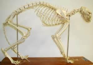 cat bones biology 453 amniote skeleton photos part 2