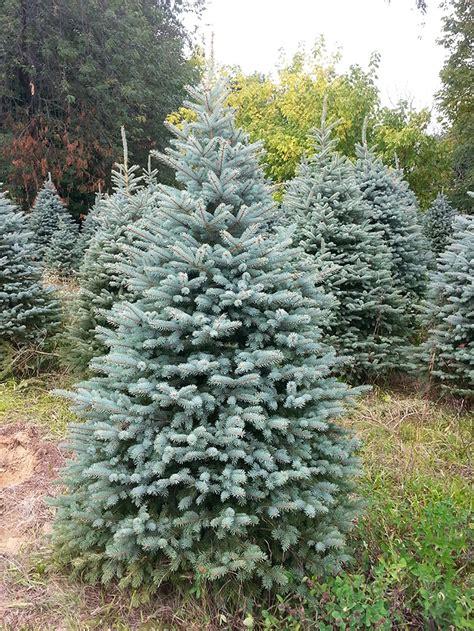 blue spruce showers tree farm