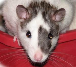 Australian Rat Fanciers Society - offering Rat Rescue ...