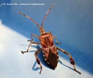 amerikanische kcheneinrichtung bilder 2 amerikanische kiefernwanze leptoglossus occidentalis