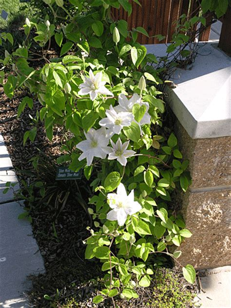silver moon clematis
