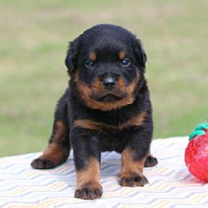 Rottweiler Puppies For Sale Puppyspot