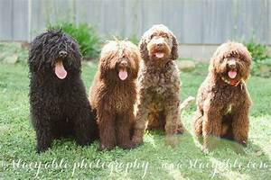 Barbet in America Blog | French Water Dog, Barbet Puppies ...