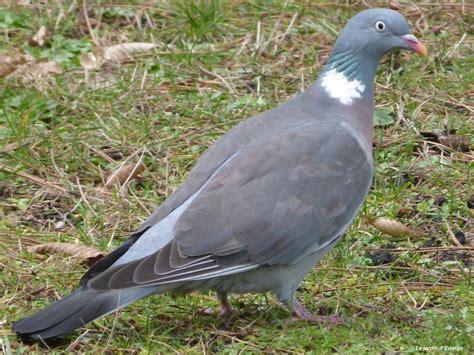 pigeon ramier colomba palumbus le jardin d edwige