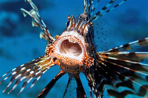 lionfish sea invasive florida pterois fish species underwater volitans eilat eating keys marine venomous israel dinner eat ocean destructive caribbean