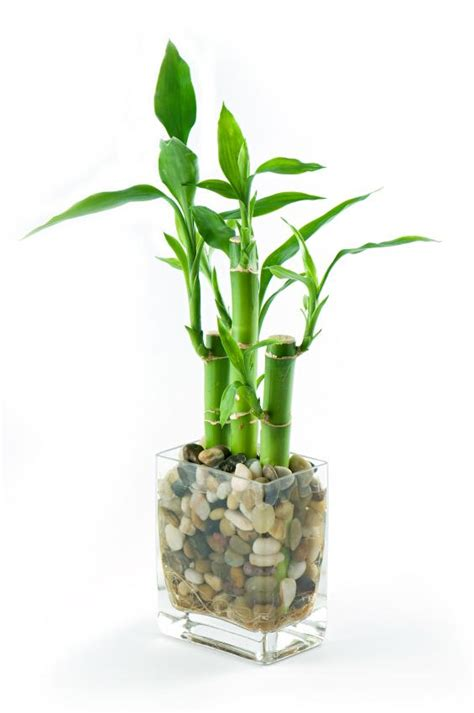 Lucky Bamboo Pflege by Pictures Of Lucky Bamboo Arrangements Slideshow