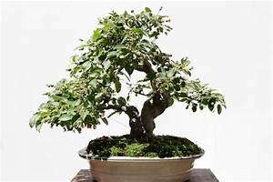 Pflege Von Bonsai Bäumchen : zierapfel als bonsai erziehen so gehen sie dabei vor ~ Sanjose-hotels-ca.com Haus und Dekorationen