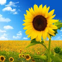 flower cake sunflower image 06 hd pictures free stock photos in image