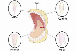 Diagram Of Teeth In Your Mouth
