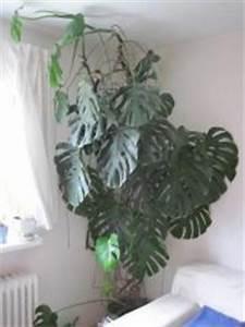 Zimmerpflanze Große Blätter : philodendron pflanzen garten g nstige angebote ~ Lizthompson.info Haus und Dekorationen