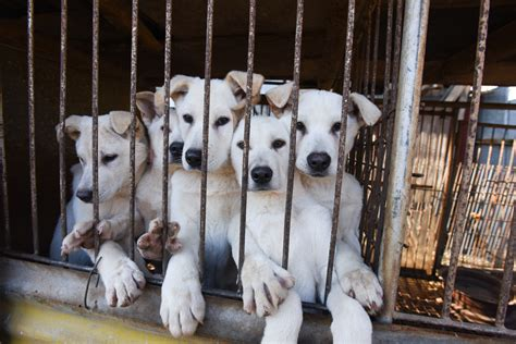 dogs rescued  butchers  south korea arrive