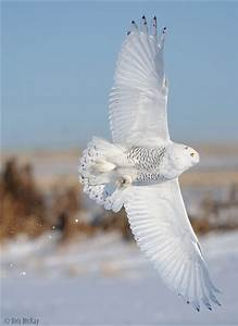 Male Snowy Owl Banking | Flickr - Photo Sharing!