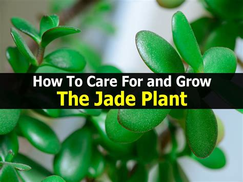 how to care for plant how to care for and grow the jade plant