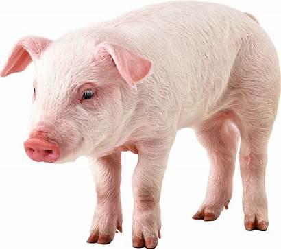 Pig Pngimg