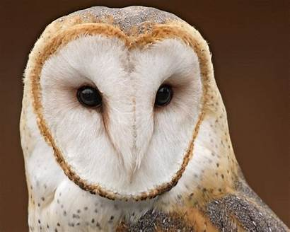 Owl Cute Face Wallpapers Owls Masked Barn