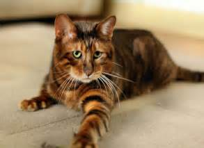cats that look like tigers ten cats that you must if you must a cat