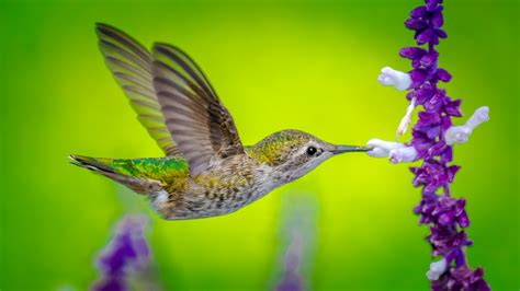 wallpaper hummingbird bird flower  animals