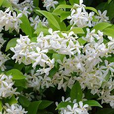 Star Jasmine Climbing Plants  Trachelospermum Jasminoides