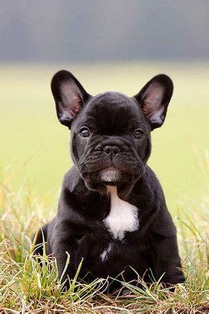 franzoesische bulldogge welpen bilder tipps