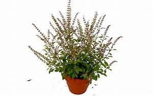 Bärlauch Pflanze Kaufen : basilikum pflanze kaufen pflanzen f r nassen boden ~ Eleganceandgraceweddings.com Haus und Dekorationen