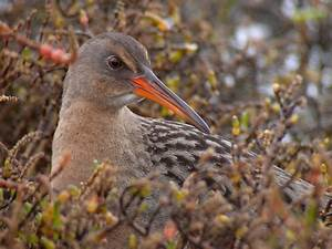 There's a New Bird Species in California, Sort Of | KQED ...