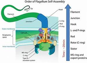 Self-Assembly of the Bacterial Flagellum: No Intelligence ...