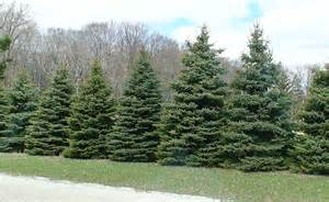 Black Spruce Trees for Privacy