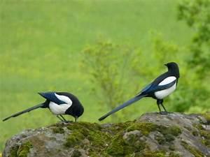 Elster Vogel Vertreiben : hitze welle struggle for life sorge um geliebte vogel ~ Lizthompson.info Haus und Dekorationen