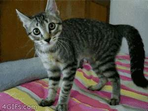 Hyper Cat GIFs - Find & Share on GIPHY