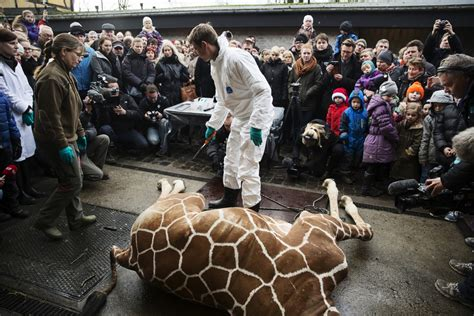 giraffe zoo killed marius animal copenhagen healthy animals killing died slaughtered they did zoos el kills why exactly were before