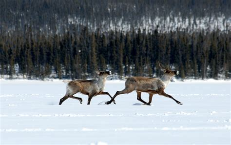 Climate And Caribou Canadian Boreal Protection Helps Both