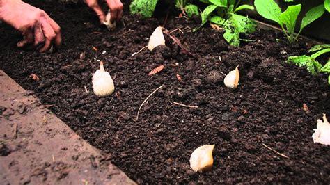 how to grow garlic beautiful home and garden