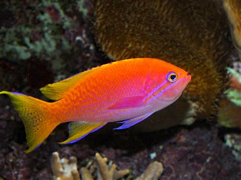 saltwater fish orange anthias fish tom s nature up close photography and mindfulness blog
