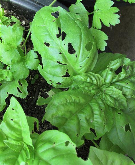 basil plant pests what pests eat basil ask an expert