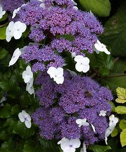 Hydrangea Macrophylla Winterhart : buy ornamental shrubs now hydrangea aspera 39 macrophylla ~ Michelbontemps.com Haus und Dekorationen